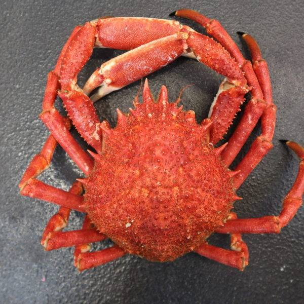 spider crab Whole Shellfish South West
